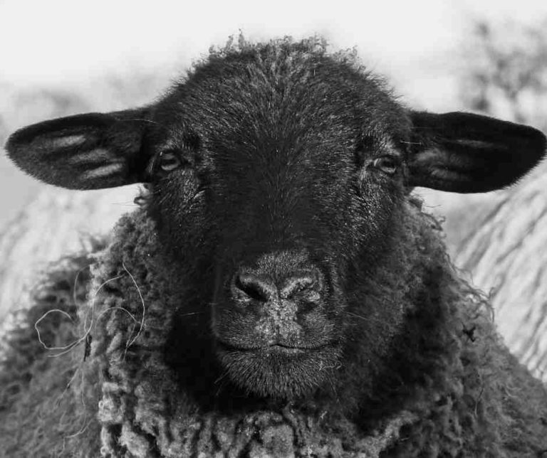 Black sheep (child of the family)