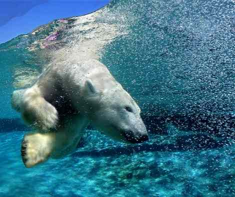 polar bear plunging into cold water